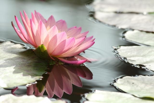 インド国花